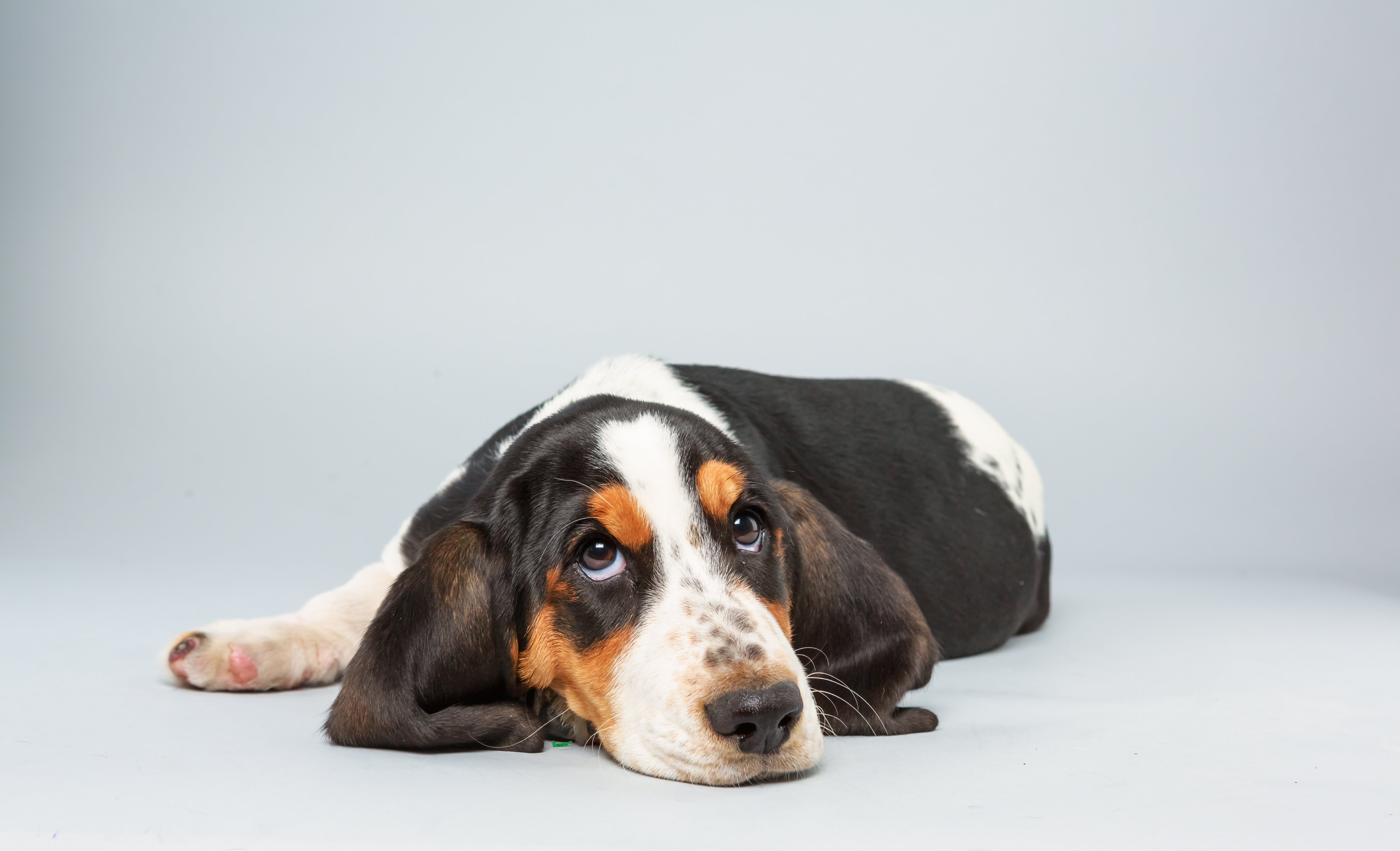 Lily Age: 13 weeks Breed: Basset hound Fact: Tries not to step on her own ears.