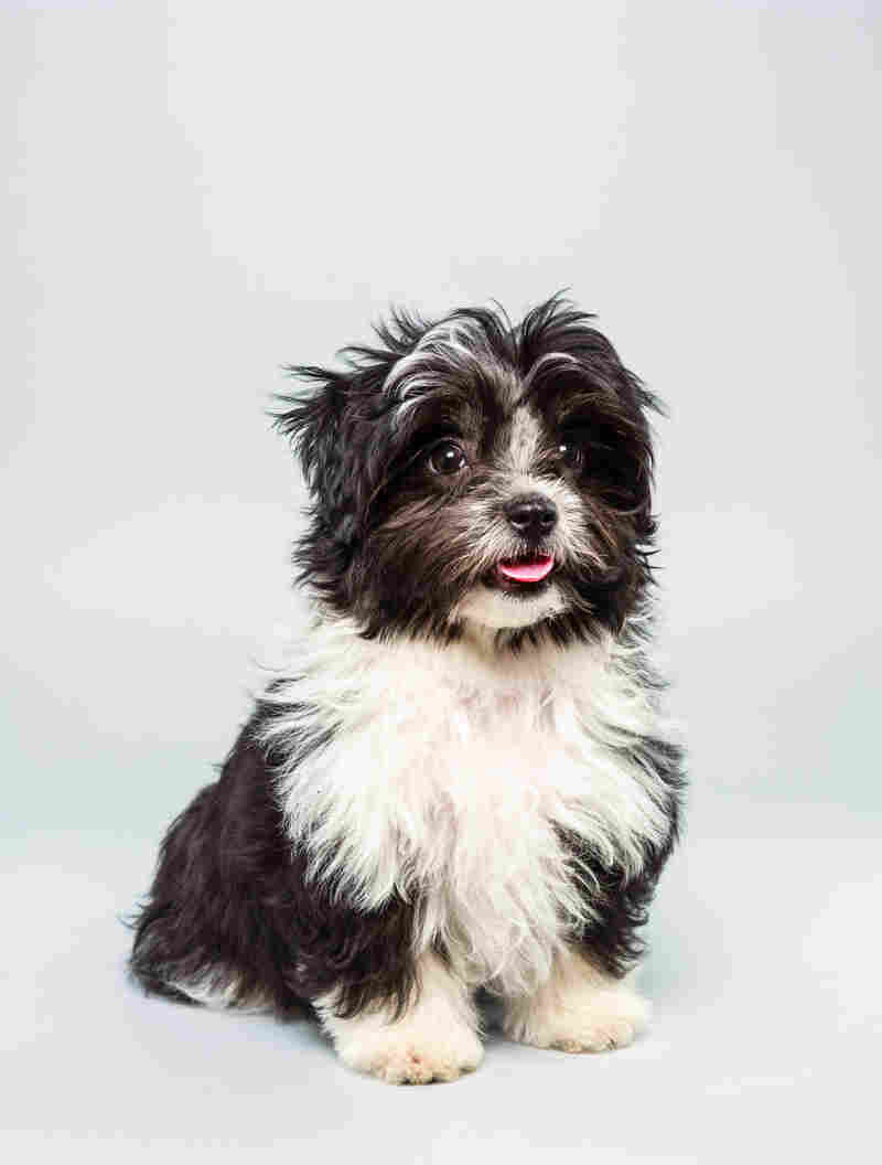 Pong Age: 12 weeks Breed: Havanese Shih Tzu mix Fact: Has been to Disney World 12 times.