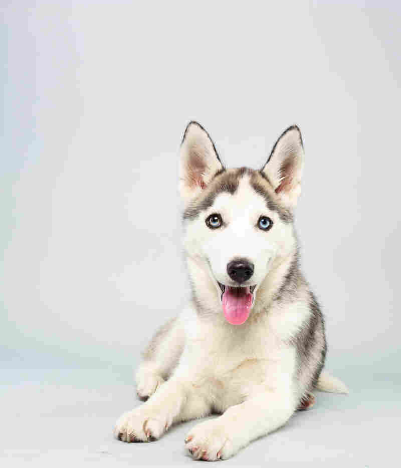 Suri Age: 14 weeks Breed: Siberian husky Fact: Thinks they should cut Miley Cyrus some slack.