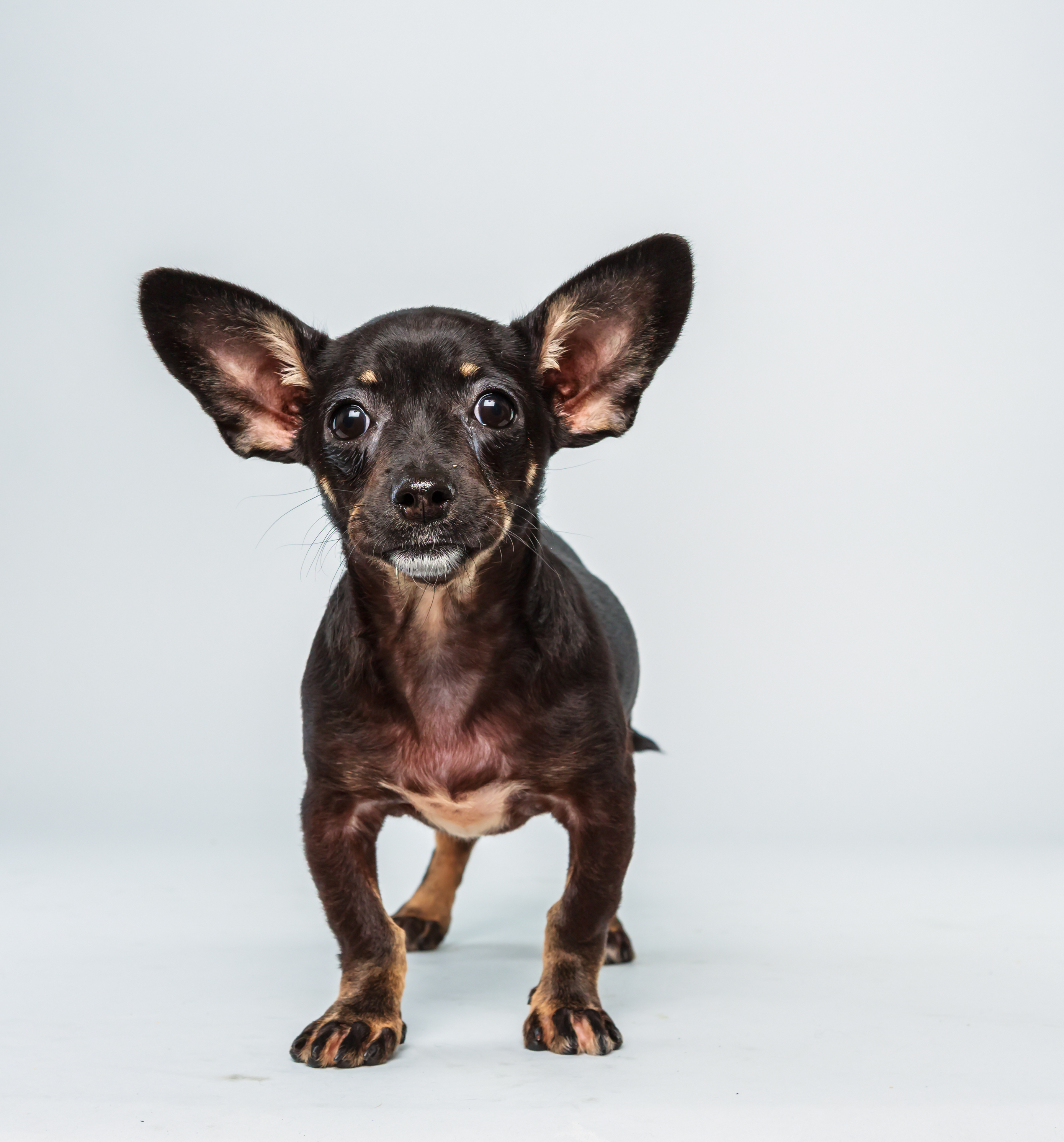 Ullie Age: 12 weeks Breed: Chihuahua dachshund mix Fact: Hates all those Rocky sports cliches about Philadelphia.