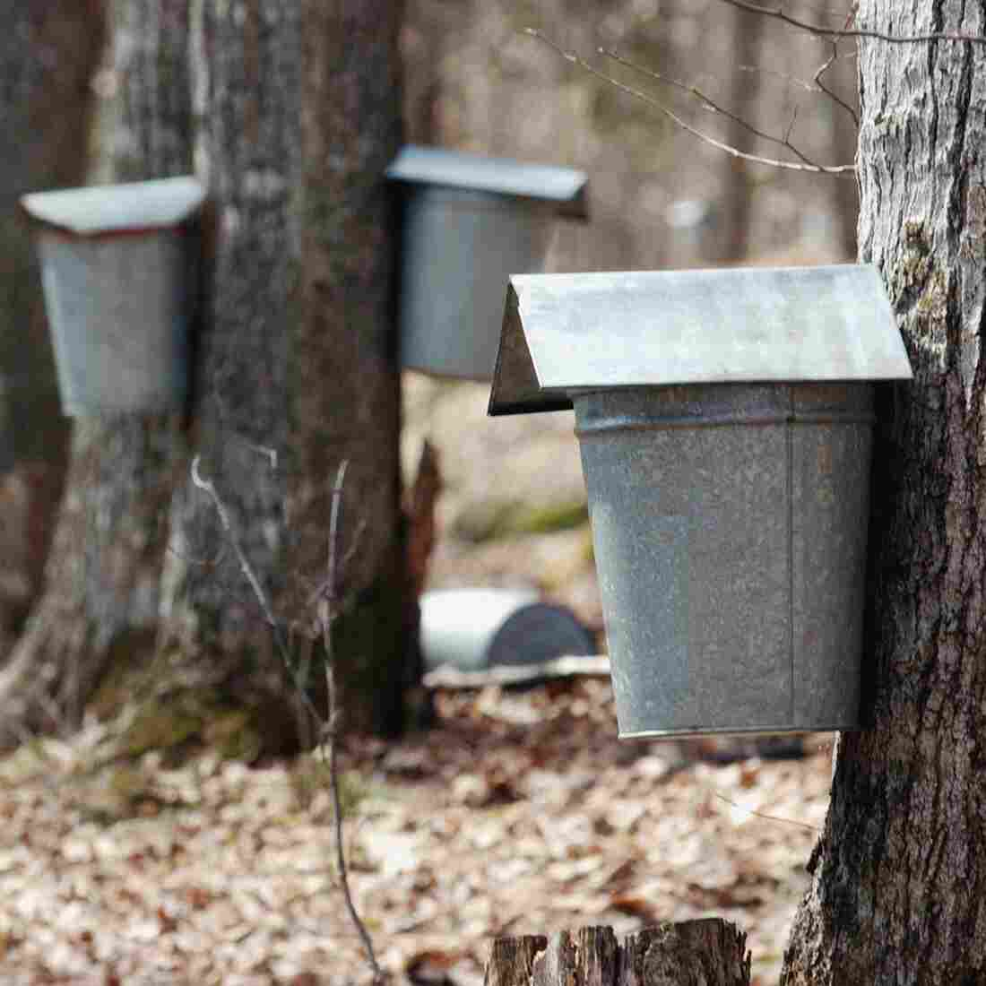 Sap Discovery Could Turn Syrup-Making Upside Down