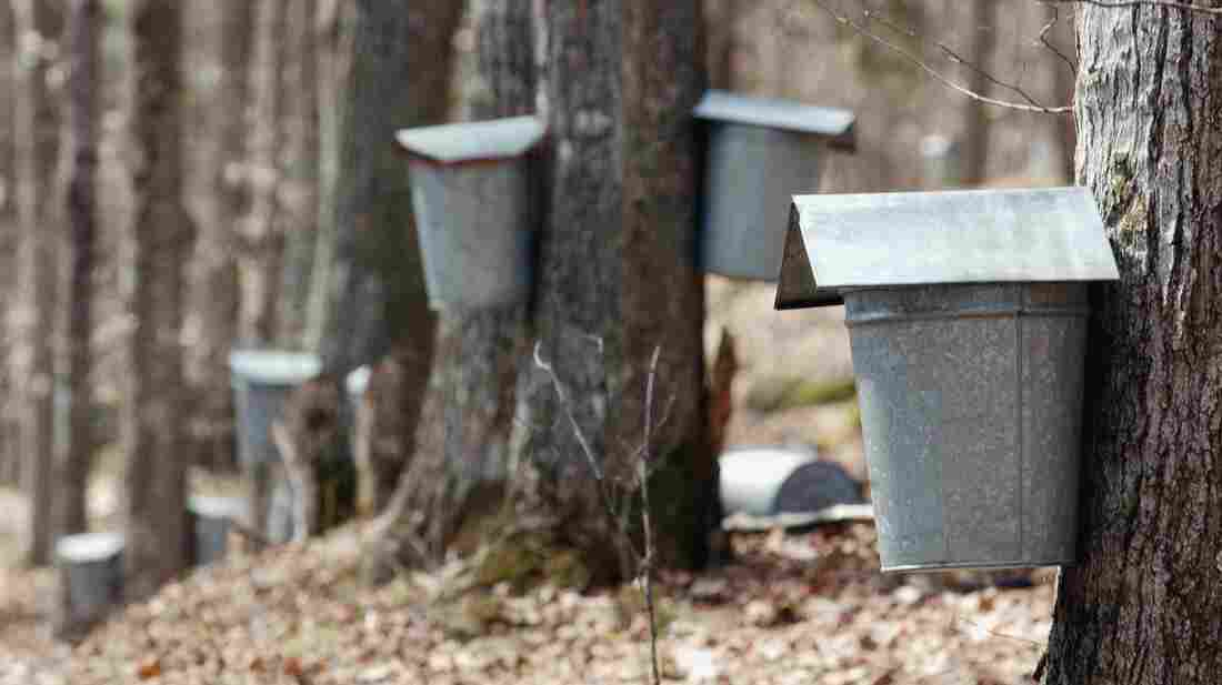 Buckets collect sap on maple trees in Vermont. A new discovery means that sap doesn't have to be collected from mature trees out in the wild.