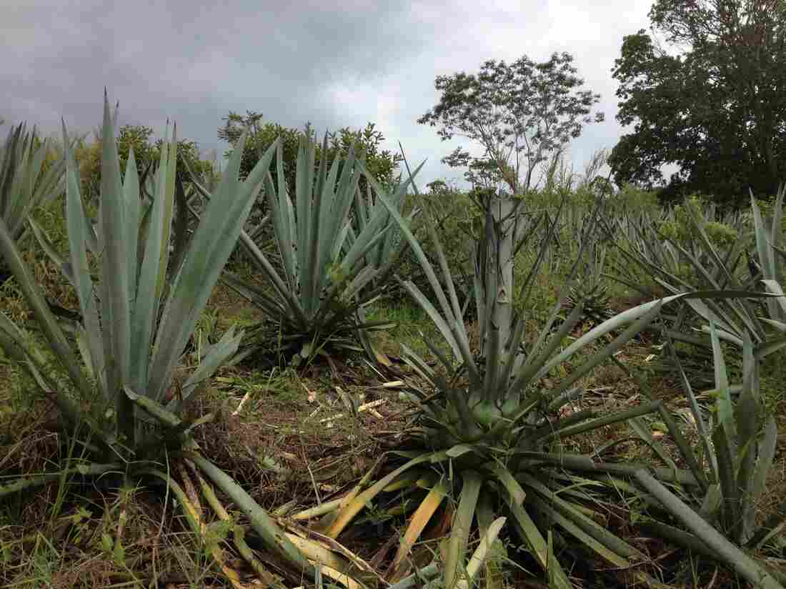 "Agave, or ""maguey,"" planted a decade ago on Edgar's father's land."
