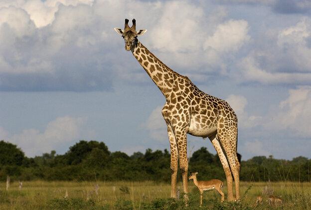 A giraffe with an antelope standing beneath it.