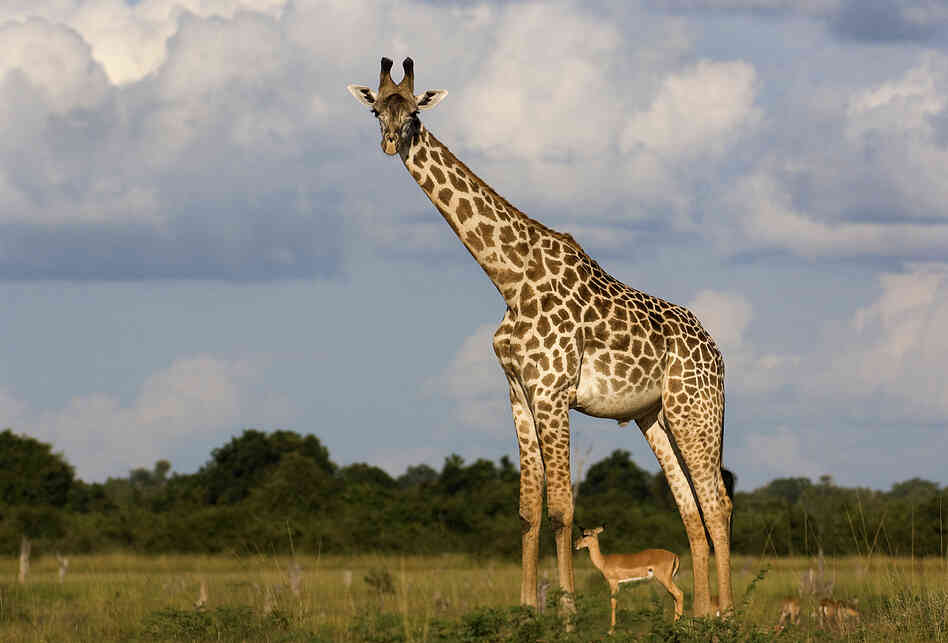 A giraffe with an antelope standing beneath it.