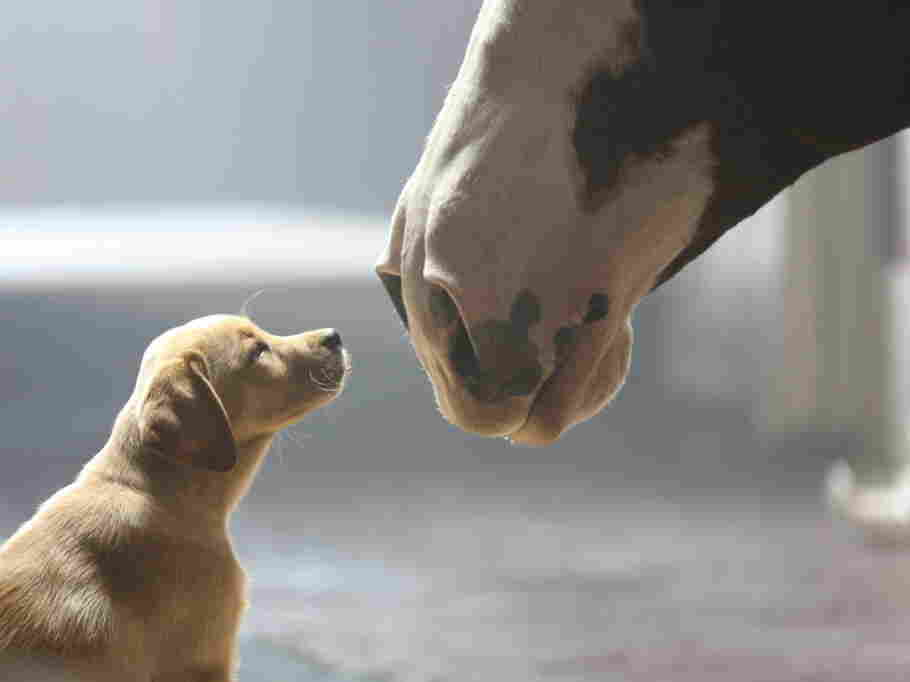 Puppy + Clydesdale = awww.
