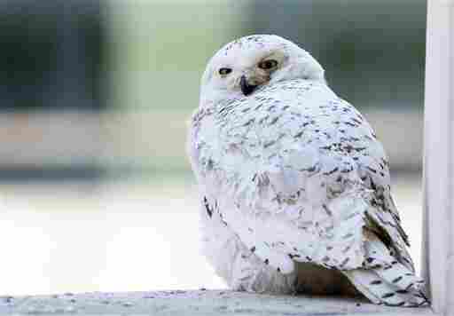 A female snowy owl rests on a ledge of a building in Washington, Friday, Jan. 24, 2014. The snowy owl which breeds in Arctic tundra, attracted passers by snapping pictures and watching its rare presence in the usually warmer urban area. (AP Photo/Manuel Balce Ceneta)