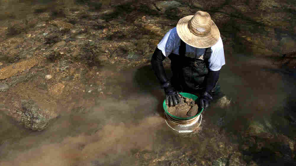Prospectors See A Golden Lining In California's Drought