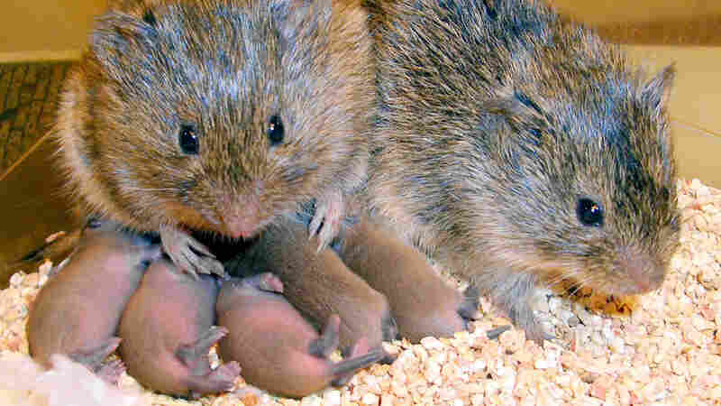 A monogamous couple of prairie voles with their offspring at the Yerkes National Primate Research Cente in Atlanta.