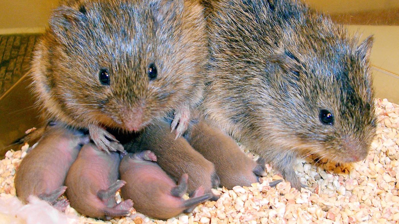 """Képtalálat a következőre: """"Prairie vole"""""""