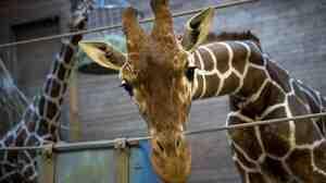 Copenhagen Zoo's giraffe Marius was put down Sunday by zoo authorities who said it was their duty to avoid inbreeding.