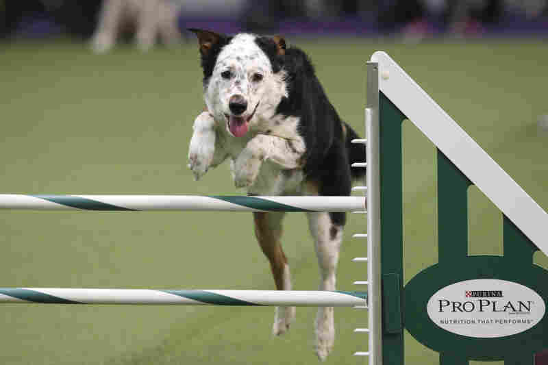 Panda, a mixed breed, takes a jump. Dogs were scored by their speed and ability to follow the course accurately, which meant following their human partners' signals.