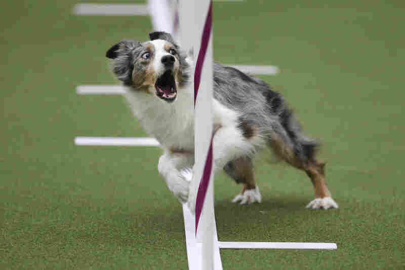 Sky, an Australian shepherd, runs the weave poles with the intensity of an Olympian during the Masters Agility Championship at Westminster on Saturday.