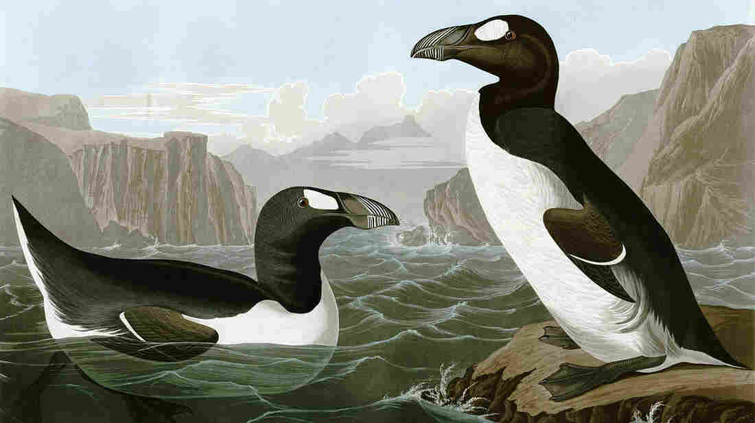 John James Audubon's illustration of the Great Auk.