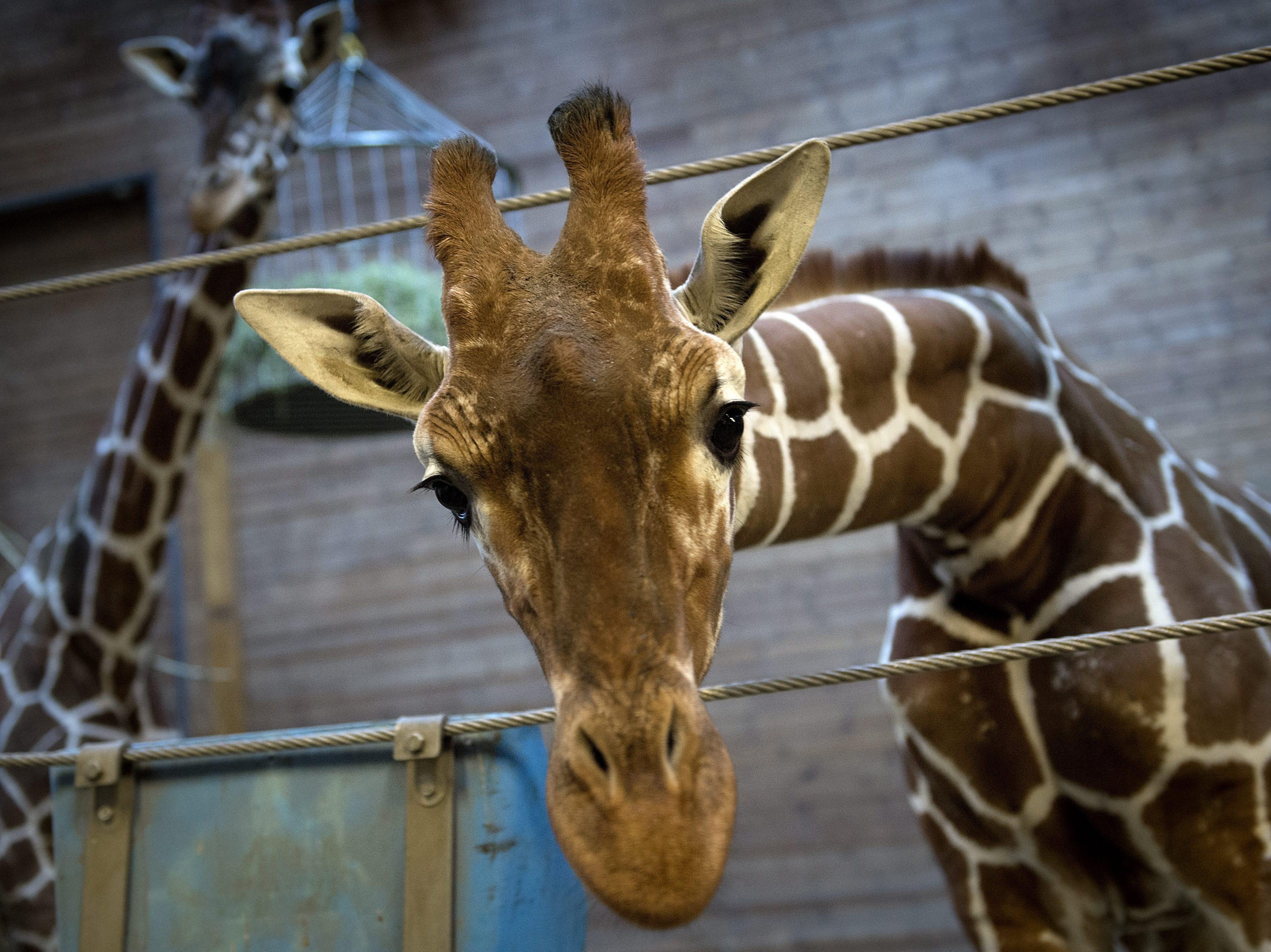 Copenhagen Zoo's Scientific Director Defends Killing Giraffe