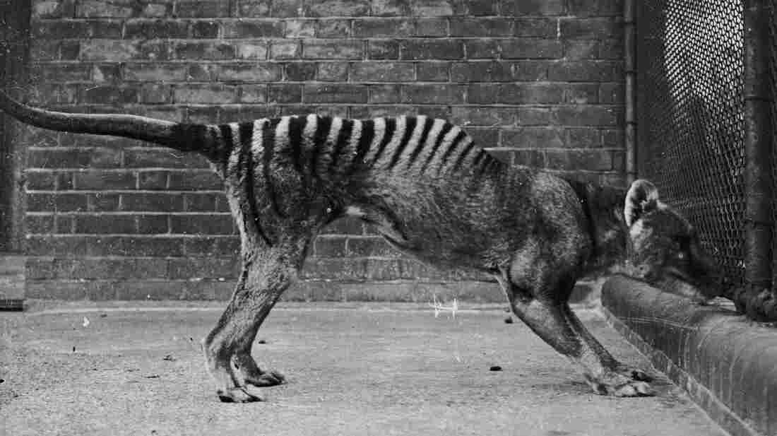 A thylacine or Tasmanian wolf, or Tasmanian tiger, in captivity, circa 1930.