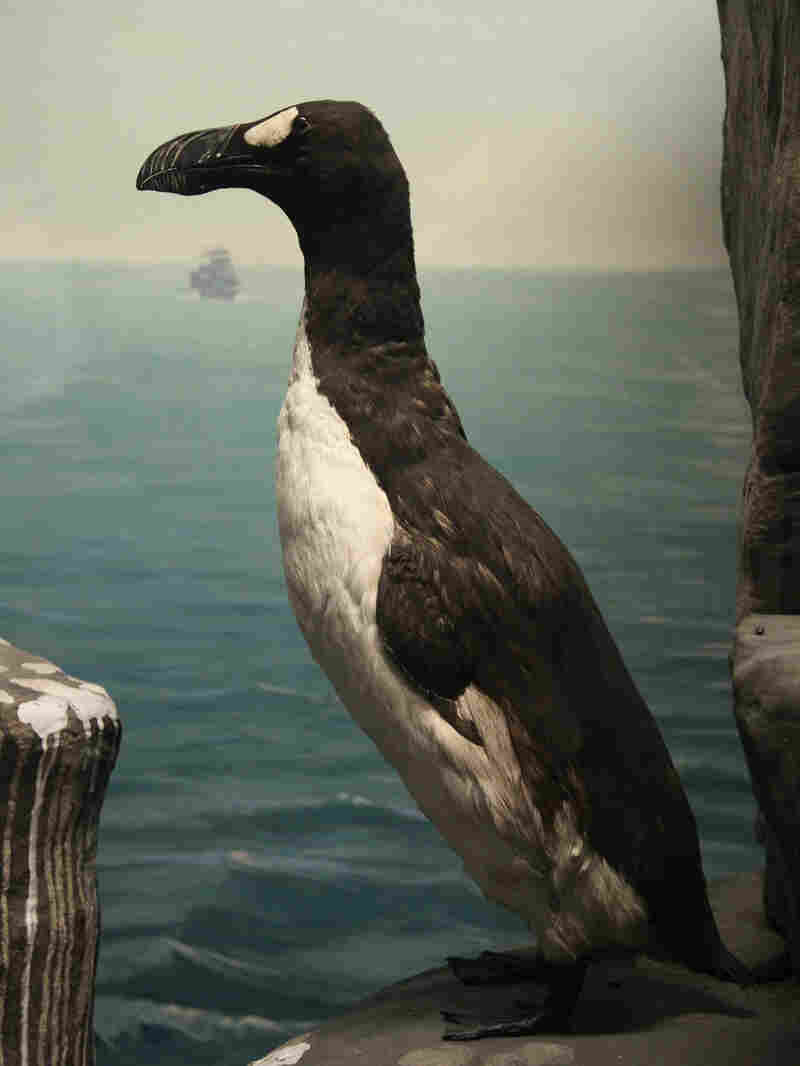 A great auk at the Academy of Natural Sciences of Drexel University in Philadelphia.