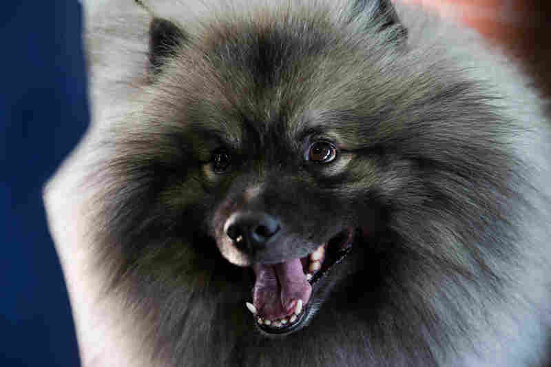 A keeshond smiles for the camera before the competition.