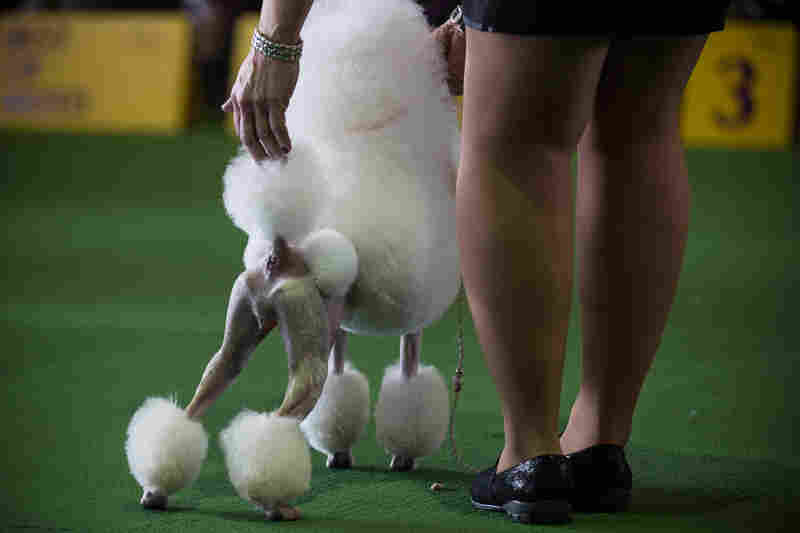 A miniature poodles stands proud on the show floor.