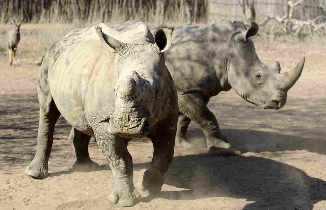 Two adult white rhinos stand in an enclosure at South Africa's Entabeni Safari Conservancy in 2012. Entabeni is one of the world's only dedicated orphanages for r