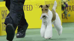 Sky, a wire fox terrier, is shown here competing in the terrier group before winning best in show at the Westminster Kennel Club dog show Tuesday.