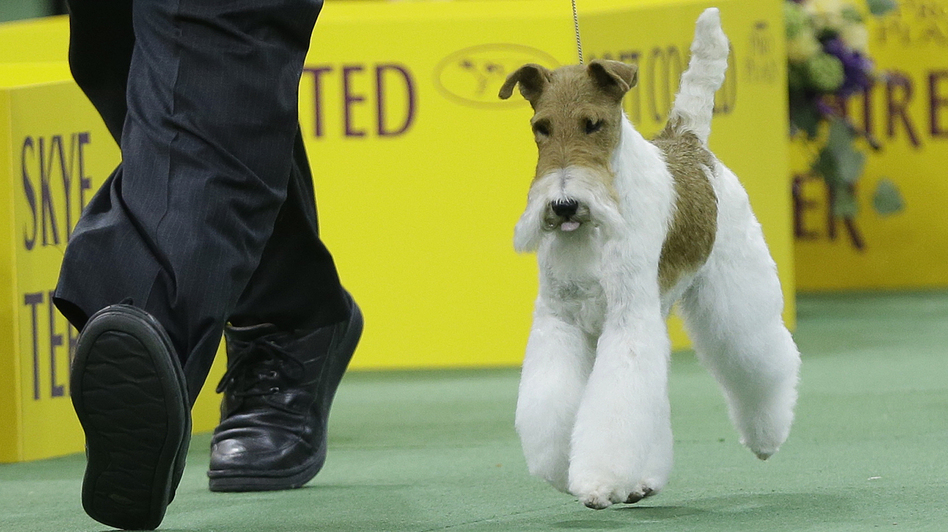 Wire Fox Terrier Wins Best In Show At Westminster | WBUR News