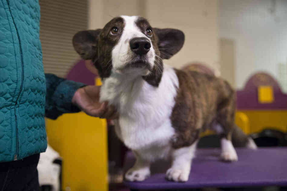 Coco, a Cardigan Welsh corgi, stands on a grooming table in the benching area before the Westminster Kennel Club dog show.