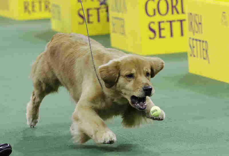 A golden retriever plays with a ball during the competition.