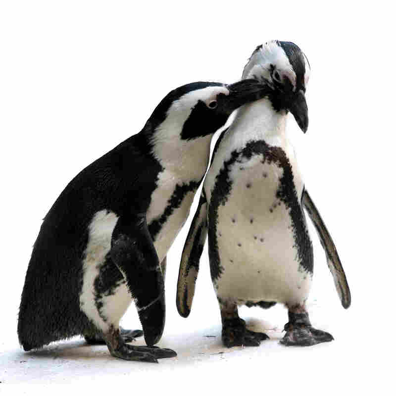 Two penguins at play in the winter weather.