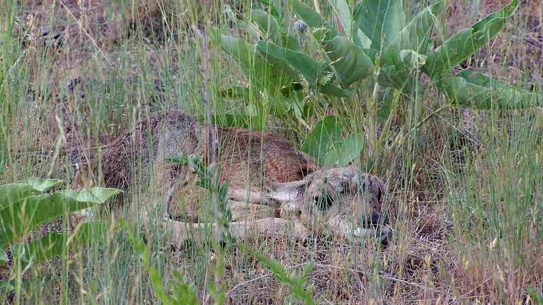 A pronghorn fawn tucks itself beneath a leafy plant.