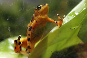 """Elizabeth Kolbert says the """"taxicab yellow"""" Panamanian golden frog was nearly wiped out by a fungal disease. It's just one of the species affected by what scientists call the Sixth Extinction."""