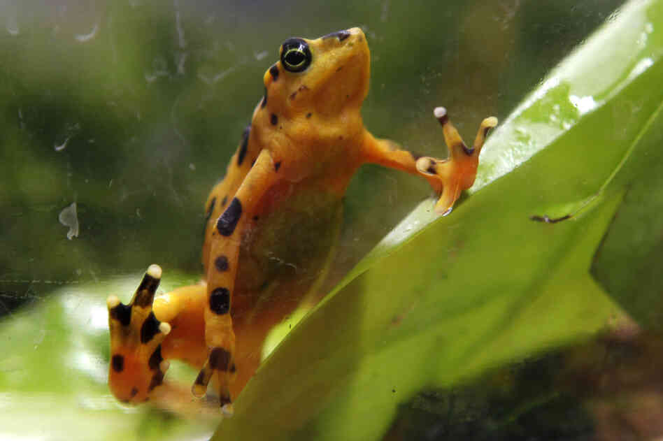 "Elizabeth Kolbert says the ""taxicab yellow"" Panamanian golden frog was nearly wiped out by a fungal disease. It's just one of the species affected by what scientists call the Sixth Extinction."