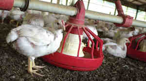 Chickens gather around a feeder in a Tyson Foods poultry house in Washington County, Ark.