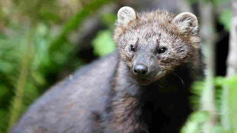 Fishers are among the small carnivores threatened by rat poisons used to guard plants at illegal marijuana farms.