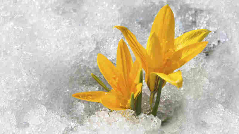 Two golden flowers bloom in snow.