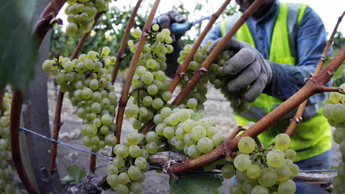 Chardonnay grapes are picked in the Stelling Vineyard at Far Niente winery Wednesday morning, Aug. 28, 2013 in Oakville, Calif.