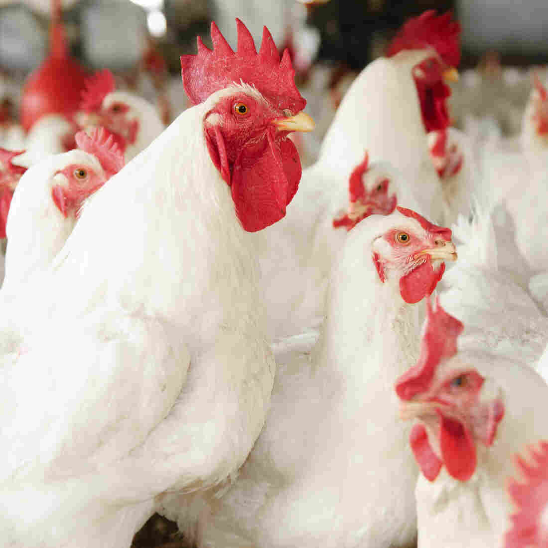 Americans Want Antibiotic-Free Chicken, And The Industry Is Listening