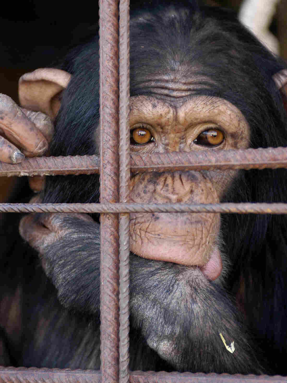 A caged chimpanzee in Madrid, Spain.