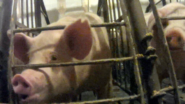 A screen grab from an undercover video released by the Humane Society of the U.S. shows a pig in a gestation crate at Iron Maiden Farms in Owensboro, Ky.