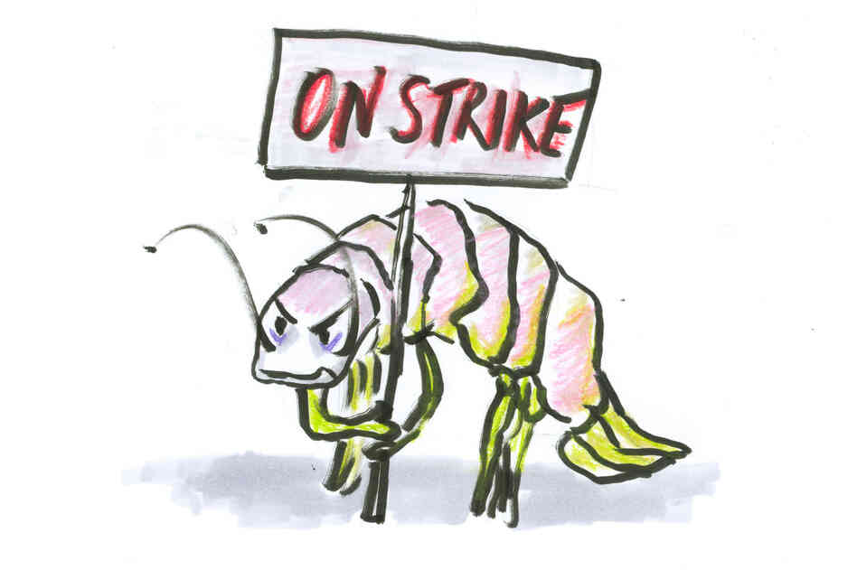 An isopod on strike.