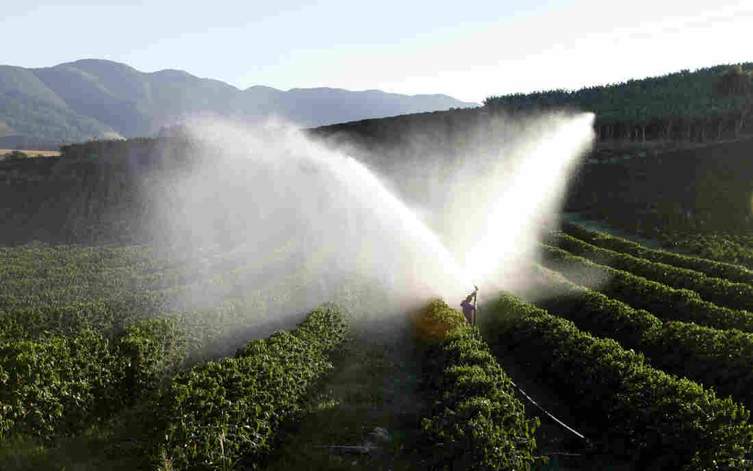 Coffee trees are irrigated in a farm in Santo Antonio do Jardim, Brazil. January was the hottest and driest month on record in much of southeastern Brazil, punishing crops in the country's agricultural heartland and sending commodities prices sharply higher in global markets.