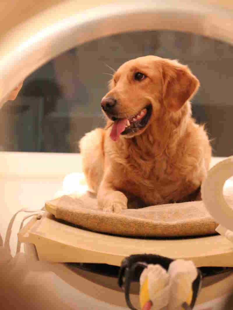 Dogs were happy to go into the brain scanner when they saw more experienced dogs sitting quietly in the machines.