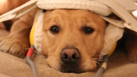 All in the name of science: A dog gets his brain scanned as he listens to human and canine sounds, such as barks, growls, giggles and laughs