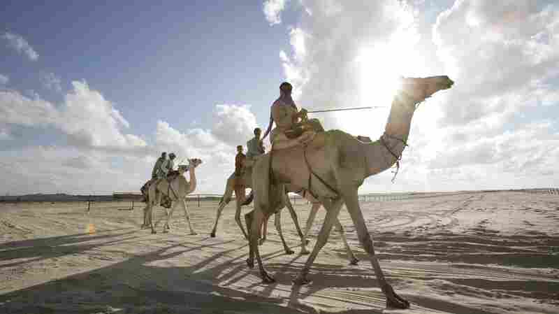 Jockeys take their camels home after racing in Egypt's El Arish desert. The annual race draws competitors from around the Middle East, including Saudi Arabia, where camels carry the Middle East Respiratory Syndrome virus.