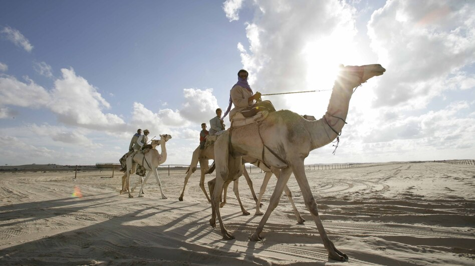 Jockeys take their camels home after racing in Egypt's El Arish desert. The annual race draws competitors from around the Middle East, including Saudi Arabia, where camels carry the Middle East Respiratory Syndrome virus. (Nasser Nouri/Xinhua /Landov)
