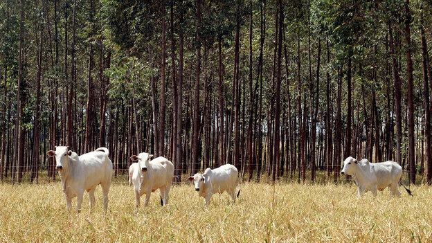 Cattle graze at a Brazilian Agricultural Research experimental farm in Planaltina in Goias state. To reduce emissions from deforestation, the Brazilian government is experimenting with grazing on integrated forest and pasture lands.