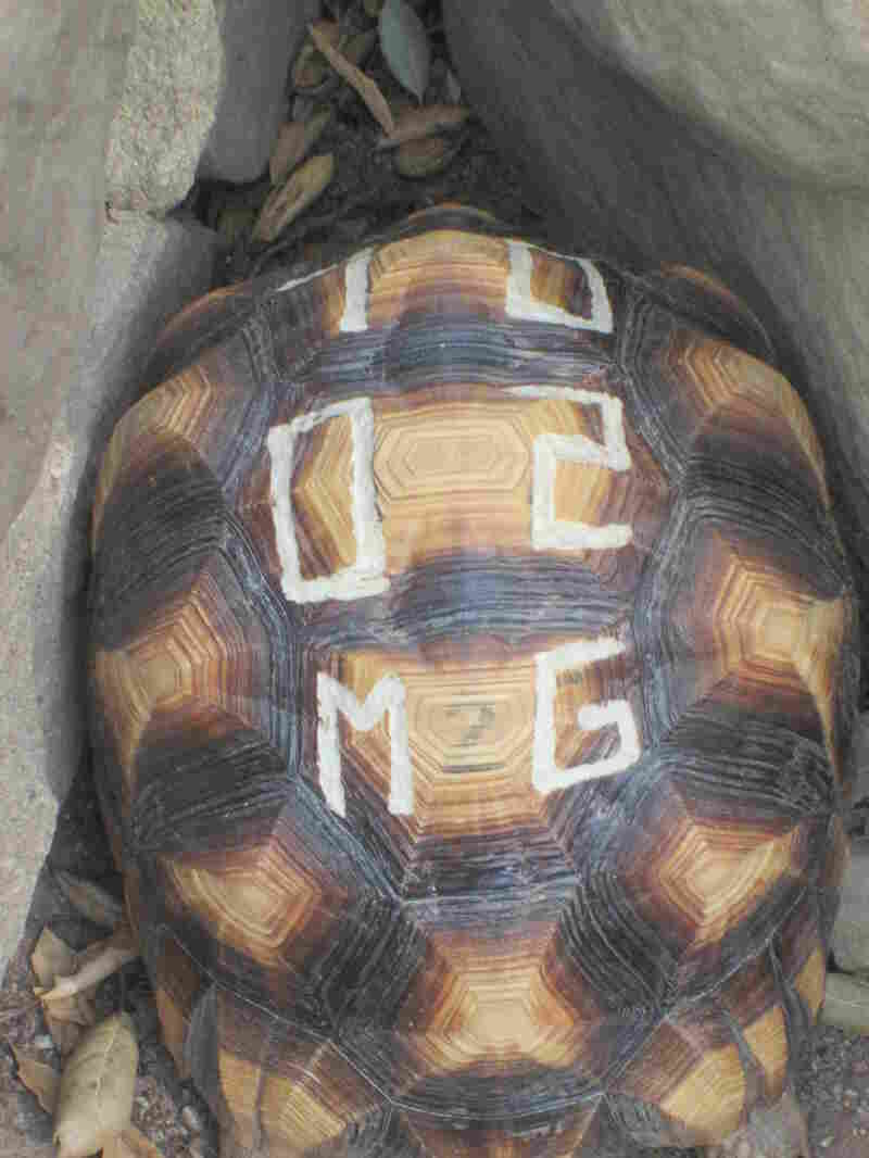 Conservationists carve letters and numbers into the tortoises' shells to make them less desirable to poachers.