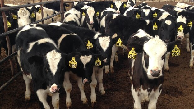 There are about 2,000 dairy cows on Pete Olsen's fift