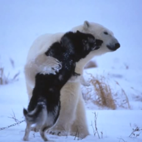 A polar bear and husky hugging.