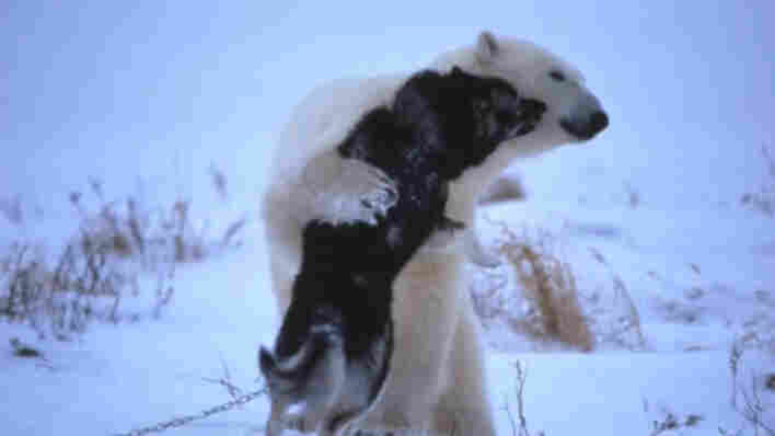 A polar bear and husky hugging.
